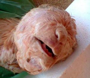 """Cabra nasce com rosto """"humano"""" no Ceará"""